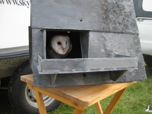 barn owl in barn owl box
